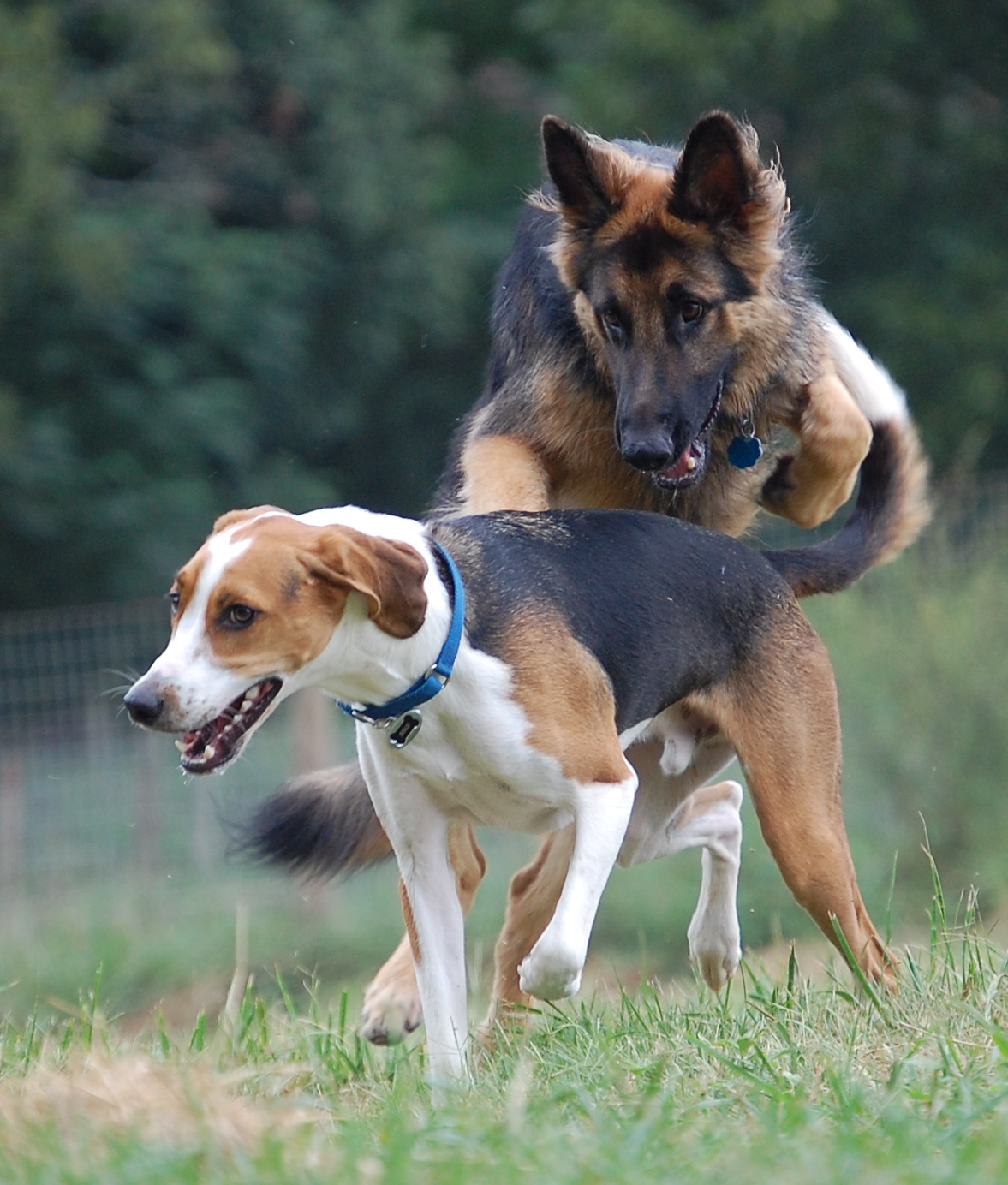 Dog With High Prey Drive And Cat