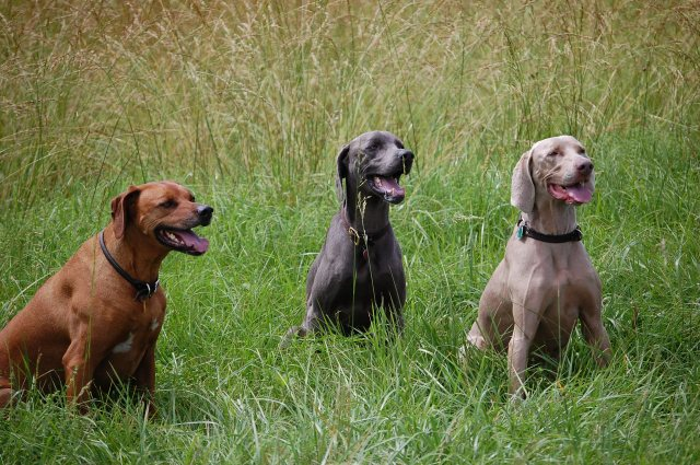 Aunty Pen's original three of her magnificent seven ... Simba, Freddie and Nelson ... a testament to good living