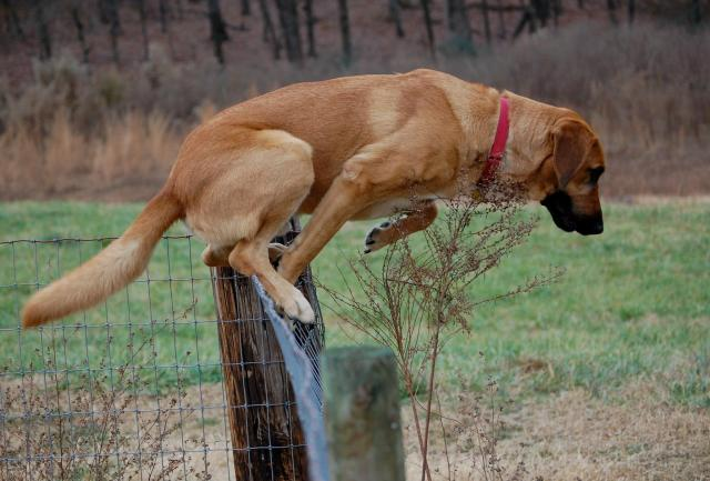 Gwinnett County Jail Dog Hoss makes a break for it at the Ranch - don't worry only to get to Aunty Pen !!!!
