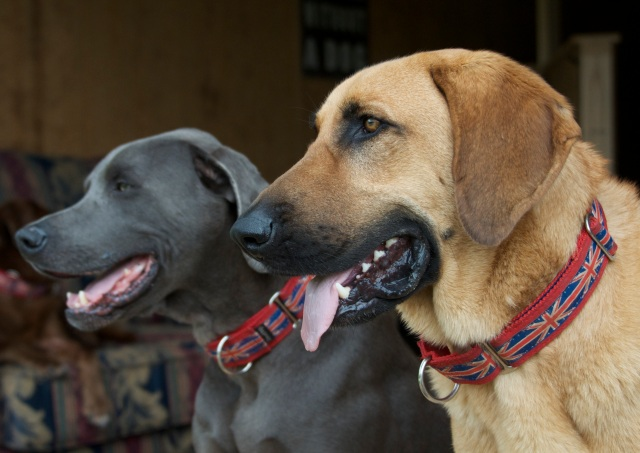Freddy & Hoss show off their Union Jack Collars